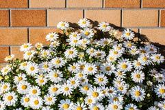 Άσπροι λουλούδι και τουβλότοιχος Στοκ Φωτογραφίες