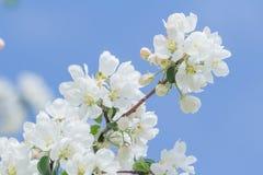Άσπροι οφθαλμοί και λουλούδια δέντρων της Apple στον κλάδο άνοιξη στο υπόβαθρο μπλε ουρανού Στοκ εικόνες με δικαίωμα ελεύθερης χρήσης