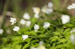 Άσπροι οφθαλμοί της άνθησης anemonies Στοκ φωτογραφίες με δικαίωμα ελεύθερης χρήσης
