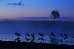 Άσπροι πελαργοί τη νύχτα σε μια λίμνη στοκ φωτογραφίες