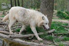 Άσπροι περίπατοι λύκων σε ένα δάσος Στοκ φωτογραφία με δικαίωμα ελεύθερης χρήσης