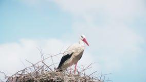 Άσπροι πελαργοί με τον απόγονο στη φωλιά ο άσπρος πελαργός (ciconia ciconia) απόθεμα βίντεο
