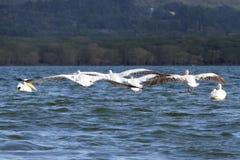 Άσπροι πελεκάνοι με τα φτερά Στοκ Φωτογραφία