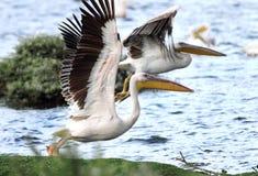 Άσπροι πελεκάνοι που διαδίδουν τα φτερά Στοκ Φωτογραφία