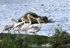 Άσπροι πελεκάνοι στην τράπεζα της λίμνης Naivasha Στοκ Εικόνες