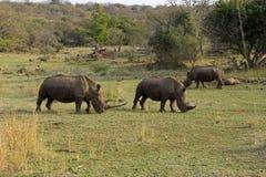Άσπροι ρινόκεροι στη Νότια Αφρική στοκ εικόνα
