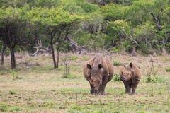 Άσπροι ρινόκερος και μόσχος στη Νότια Αφρική Στοκ Φωτογραφίες
