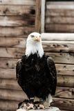 Άσπρος αετός ιπποτών Στοκ φωτογραφία με δικαίωμα ελεύθερης χρήσης