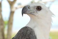 Άσπρος αετός Στοκ φωτογραφία με δικαίωμα ελεύθερης χρήσης