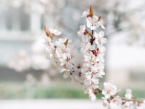 Άσπρος αιχμηρός και το ανθίζοντας δέντρο λουλουδιών όμορφη άνοιξη αρχαίο watercolor εγγράφου ανασκόπησης σκοτεινό κίτρινο ανθίζον Στοκ Εικόνες