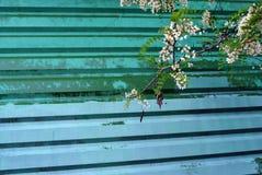 Άσπρος ανθίζοντας κλάδος ακακιών στον παλαιό πράσινο πράσινο shabby χρωματισμένο ζαρωμένο φράκτη σιδήρου στοκ φωτογραφίες