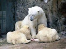 Άσπρος αντέξτε τις τροφές cubs της Στοκ φωτογραφίες με δικαίωμα ελεύθερης χρήσης