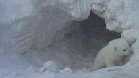 Άσπρος αντέξτε cub βγαίνει από μια φωλιά (επίπεδη) απόθεμα βίντεο