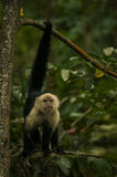 Άσπρος-αντιμέτωπη Capuchin εκμετάλλευση πιθήκων επάνω στον κλάδο Στοκ Εικόνες