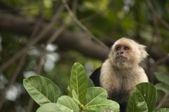 Άσπρος-αντιμέτωπη Capuchin συνεδρίαση πιθήκων στα φύλλα, Ometepe, Νικαράγουα Στοκ φωτογραφία με δικαίωμα ελεύθερης χρήσης