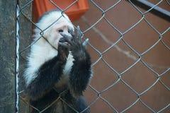 Άσπρος αντιμέτωπος πίθηκος από τη Κόστα Ρίκα Στοκ φωτογραφία με δικαίωμα ελεύθερης χρήσης