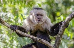 Άσπρος αντιμέτωπος πίθηκος που σε ένα δέντρο Στοκ Εικόνες