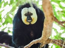 Άσπρος-αντιμέτωπος πίθηκος Saki στο ζωολογικό κήπο Στοκ φωτογραφίες με δικαίωμα ελεύθερης χρήσης