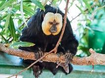 Άσπρος-αντιμέτωπος πίθηκος Saki στο ζωολογικό κήπο Στοκ Εικόνες
