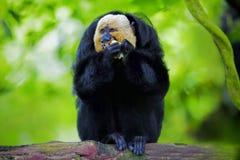 Άσπρος-αντιμέτωπος πίθηκος Saki Στοκ φωτογραφίες με δικαίωμα ελεύθερης χρήσης
