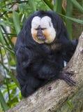 Άσπρος-αντιμέτωπος πίθηκος saki (pithecia Pithecia) Στοκ Εικόνα