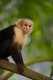 Άσπρος αντιμέτωπος Capuchin πίθηκος Στοκ φωτογραφία με δικαίωμα ελεύθερης χρήσης