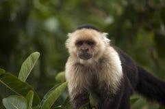 Άσπρος-αντιμέτωπος Capuchin πίθηκος, Ometepe, Νικαράγουα Στοκ Φωτογραφίες