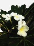 Άσπρος απομονωμένος δέντρο κήπος ανθών plumeria λουλουδιών Στοκ Φωτογραφίες