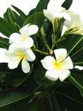 Άσπρος απομονωμένος δέντρο κήπος ανθών plumeria λουλουδιών Στοκ εικόνα με δικαίωμα ελεύθερης χρήσης