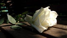 Άσπρος αυξήθηκε από τον κήπο Στοκ Εικόνα