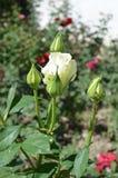 Άσπρος αυξήθηκε λουλούδι και αφίδιο παρασίτων Στοκ εικόνες με δικαίωμα ελεύθερης χρήσης