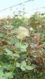Άσπρος αυξήθηκε με το μακροχρόνιο μίσχο με τα πράσινα φύλλα μέσα σε ένα θερμοκήπιο Στοκ φωτογραφία με δικαίωμα ελεύθερης χρήσης