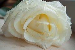 Άσπρος αυξήθηκε με dew Στοκ Εικόνες