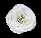 Άσπρος αυξήθηκε λουλούδι, απομονωμένο ο Μαύρος υπόβαθρο με το ψαλίδισμα της πορείας Κινηματογράφηση σε πρώτο πλάνο καμία σκιά Στοκ Φωτογραφίες