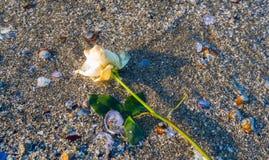 Άσπρος αυξήθηκε στην παραλία στοκ φωτογραφίες