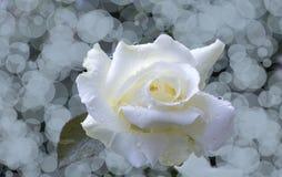 Άσπρος αυξήθηκε bokeh Στοκ Φωτογραφία