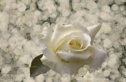 Άσπρος αυξήθηκε bokeh Στοκ Εικόνα