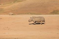Άσπρος αφρικανικός ρινόκερος, simum Ceratotherium Στοκ Φωτογραφία