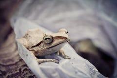 Άσπρος βάτραχος Στοκ φωτογραφία με δικαίωμα ελεύθερης χρήσης