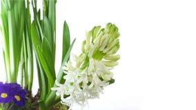 Άσπρος βολβός λουλουδιών υάκινθων που ανθίζει στο λευκό απόθεμα βίντεο