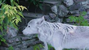 Άσπρος βόρειος λύκος που ουρλιάζει κοντά στο ανθρώπινο σπίτι απόθεμα βίντεο