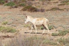 Άσπρος γάιδαρος, εδρεύον μόνο asinara νησιών, Σαρδηνία Ιταλία Στοκ φωτογραφίες με δικαίωμα ελεύθερης χρήσης