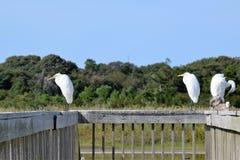 Άσπρος γερανός Στοκ Εικόνα