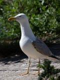Άσπρος γλάρος Στοκ Εικόνες