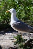 Άσπρος γλάρος Στοκ φωτογραφία με δικαίωμα ελεύθερης χρήσης