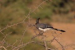 Άσπρος-διογκωμένο πηγαίνω-μακριά πουλί Στοκ Φωτογραφίες
