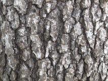Άσπρος δρύινος φλοιός δέντρων στοκ εικόνες