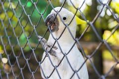Άσπρος εξωτικός παπαγάλος στο κλουβί Όμορφο kakadu που κρατά το ράμφος του πίσω από το δίχτυ στοκ φωτογραφίες με δικαίωμα ελεύθερης χρήσης