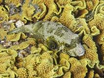 Άσπρος-επισημασμένοι καπνιστής & x28 Arothron hispidus& x29  ψάρια που βρίσκονται στο κοράλλι Στοκ εικόνα με δικαίωμα ελεύθερης χρήσης