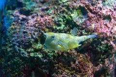 Άσπρος-επισημασμένοι καπνιστής & x28 Arothron hispidus& x29  Θαλάσσια ψάρια στο μπλε wa Στοκ Εικόνες